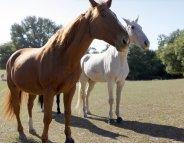 Coup de chaleur : les chevaux aussi