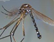 Chikungunya, dengue : un nouveau vecteur découvert ?