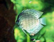 Aquariums : gare aux infections cutanées