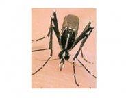 Deux cas de Chikungunya sur l'île de Saint-Martin