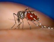 Chikungunya : le virus s'installe dans les Antilles