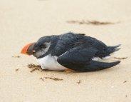 Les oiseaux, victimes collatérales des tempêtes