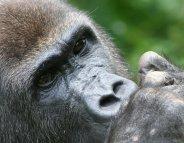 Paludisme : la piste des grands singes d'Afrique…