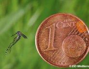 Moustique tigre : le Languedoc-Roussillon en alerte