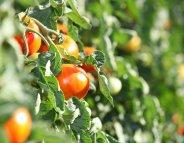Menus-santé : des tomates gorgées de soleil !
