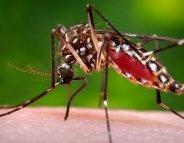 Chikungunya : 4 cas autochtones en Languedoc-Roussillon