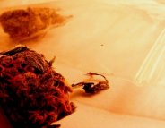 Le cannabis,  cette plante toxique