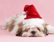 A Noël, les animaux de compagnie ne sont pas à la fête…