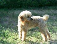 Leishmaniose : protégez votre chien !