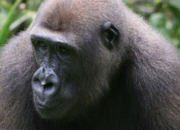 SIDA : le VIH descend bien du singe
