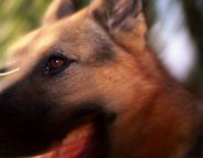 Rage canine : une maladie oubliée toujours mortelle
