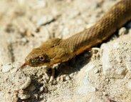 Morsures de serpent : les stocks d'anti-venin bientôt épuisés ?