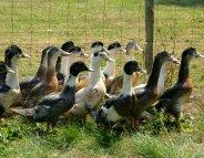 La grippe aviaire s'étend dans les élevages en France