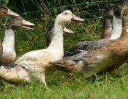 Grippe aviaire : trois nouveaux foyers en Dordogne et dans les Landes