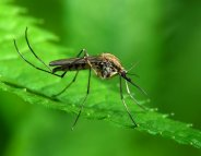 Paludisme : le rôle de l'alimentation des moustiques