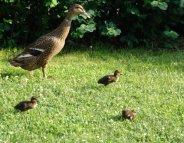 Grippe aviaire : passage à un niveau de risque élevé