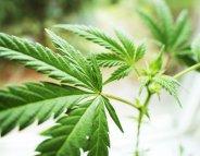 Intoxications au cannabis : les 8-15 ans en première ligne