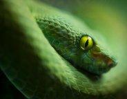 Les morsures de serpents classées maladies tropicales négligées