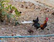 Grippe aviaire : elle resurgit dans le département du… Nord