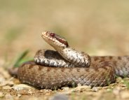 Morsures de serpent : comment réagir ?