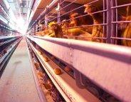 Fipronil : un bilan positif des enquêtes en élevage ?