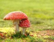 Champignons : les intoxications graves en hausse