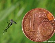 Dengue, chikungunya : alerte au moustique tigre