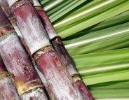 Pesticides : les travailleurs de la canne à sucre de la Réunion surexposés