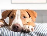 Santé animale : comprendre les chaleurs de la chienne