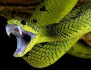 Morsures de serpents : moins 50% de mortalité d'ici à 2030 ?