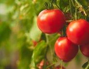 Les Français déçus par le goût des tomates et des melons