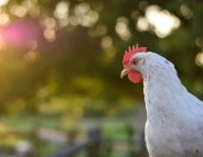 Alimentation : le bien-être des poulets bientôt sur les étiquettes