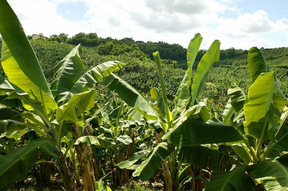 bananier-chlordecone