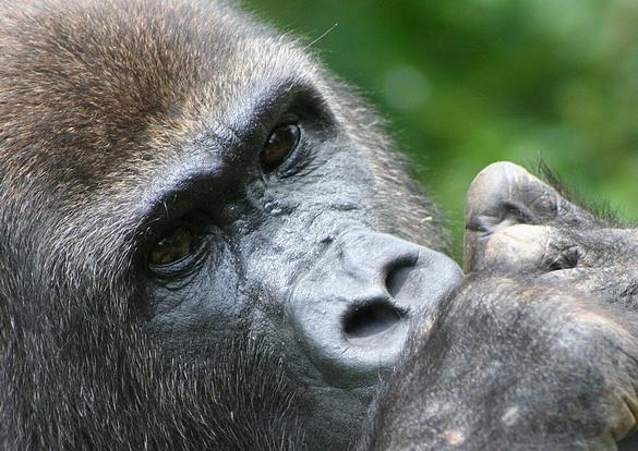 Les gorilles sauvages du Cameroun constituent un réservoir naturel pour des personnes non-résistantes à P. Vivax en Afrique. Comme les voyageurs… ©IRD/Cécile Neel