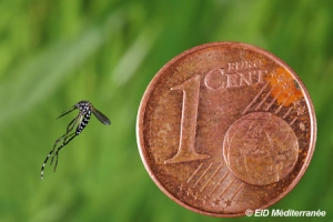 L'Aedes albopictus, ou moustique tigre, est reconnaissable à la ligne blanche sous son thorax et à ses pattes rayées. ©EDI Méditerrannée