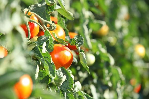 En Europe, 3 580 variétés de tomates tout aussi différentes les unes des autres. ©Phovoir