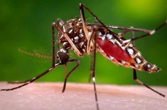 Aedes albopictus et ses rayures noires et blanches est un deux vecteurs (avec Aedes aegypti) du virus du Chikungunya. © CDC