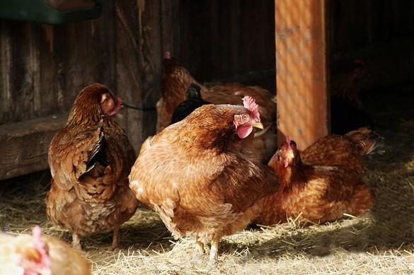 La grippe aviaire touche les oiseaux sauvages ainsi que les volailles d'élevage. ©Phovoir