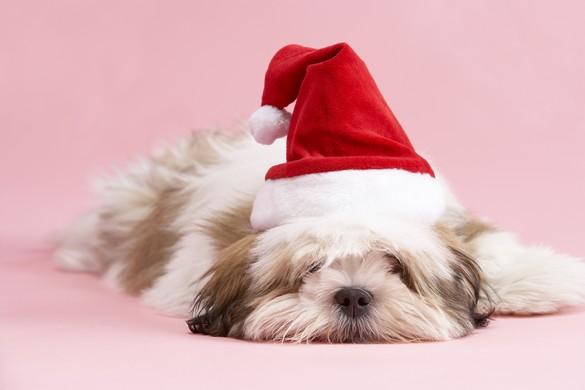 A Noël, notre maison est remplie de potentiels dangers pour les chiens. ©Phovoir