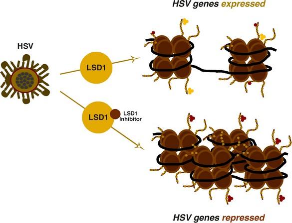 Illustration de l'expression des gènes lorsque la protéine LSD1 est inhibée ou non. ©Thomas M. Kristie