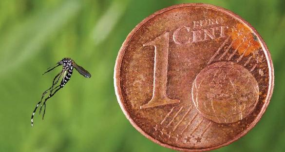 Le moustique tigre est aussi gros qu'une pièce d'un centime d'euro ©JB Ferré, EID Méditerranée