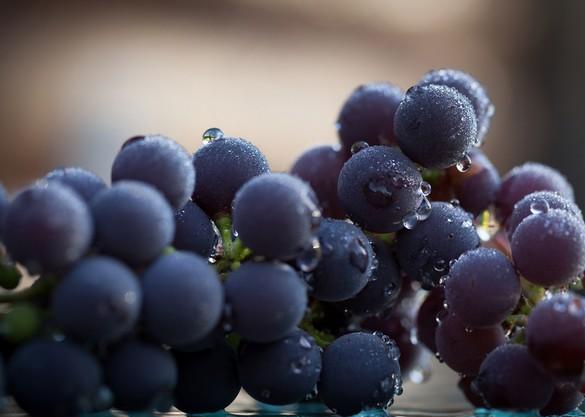 Le resvératrol est notamment synthétisé dans les grains de raisins. allanw/shutterstock.com